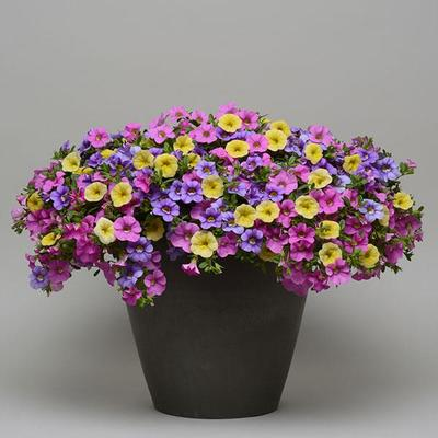 Spring Showers combo Hanging Basket (c15)
